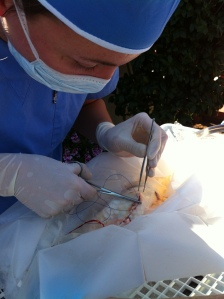 Dr. Sanders performing abdominal surgery on a koi