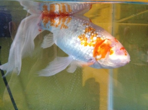 After: Sparky, the happy one-eyed fish